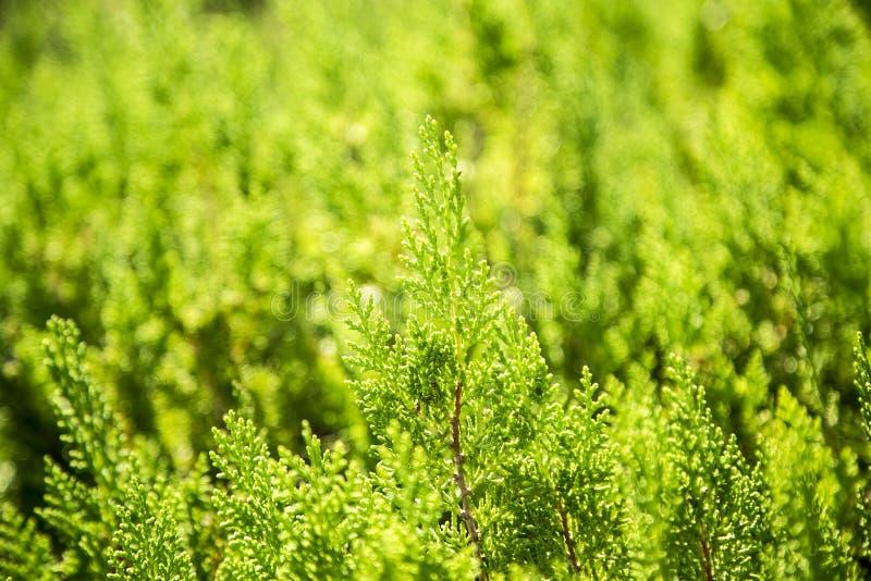 Jóvenes del pino del abeto del árbol de navidad foto de archivo libre de regalías