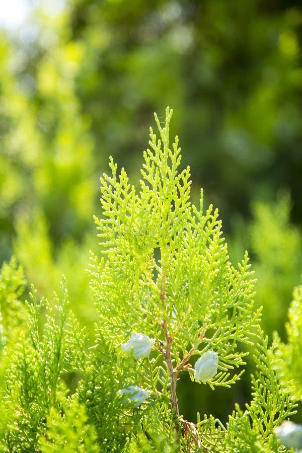 Jóvenes del pino del abeto del árbol de navidad foto de archivo