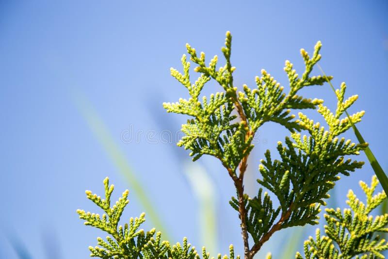 Jóvenes del pino del abeto del árbol de navidad imagen de archivo