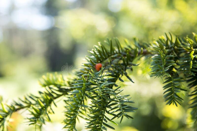 Jóvenes del pino del abeto del árbol de navidad fotos de archivo