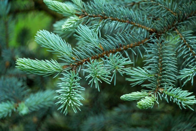 Jóvenes ganadores de Blue Spruce Picea Hoopsii nuevo crecimiento de primavera - agujas azules blandas. Enfoque selectivo imagen de archivo libre de regalías