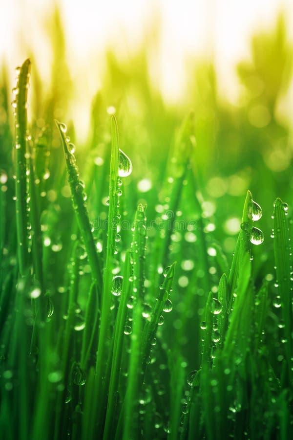 Jóvenes pasto verde con rocío en las luces soleadas de la mañana Hermoso paisaje natural con gotitas de agua fotografía de archivo libre de regalías