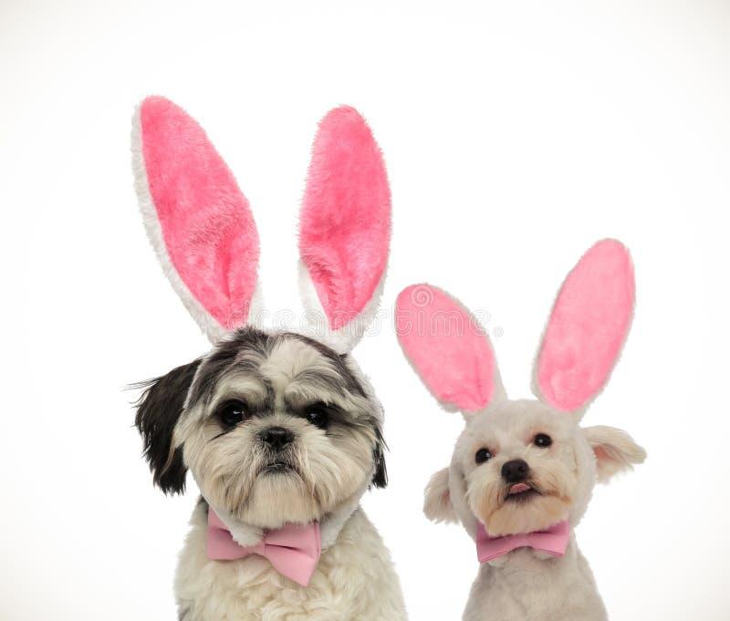 Júntese de dos pequeños perros adorables que llevan los oídos del conejito de pascua foto de archivo