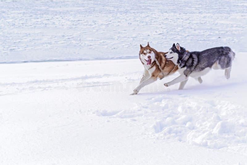 Júntese de husky siberiano de los perros con las caras divertidas locas corridas en la orilla nevada del río Los perros lindos ju fotografía de archivo