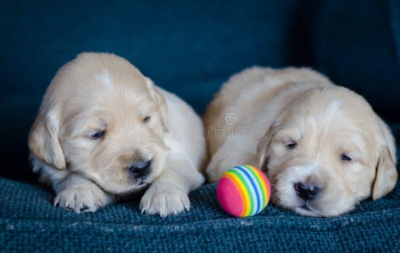Júntese de jugar recién nacido de los perritos del golden retriever con una bola multicolora imagenes de archivo