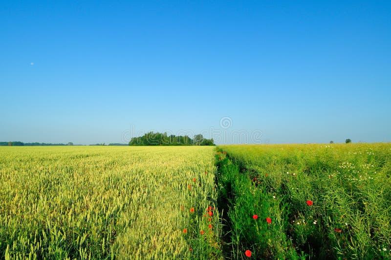 Jęczmienia pole obok rapeseed pola zdjęcie royalty free