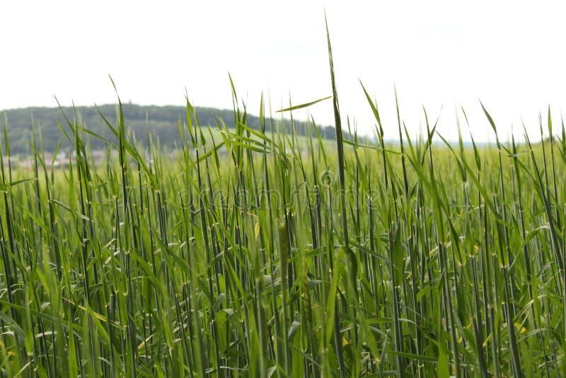 Jęczmienia pole przed wioską fotografia stock