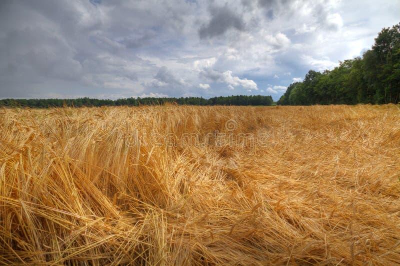 Jęczmienna uprawa spłaszczająca wiatrem i deszczem zdjęcia stock