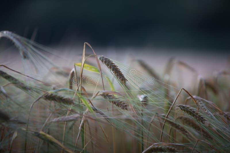 Jęczmienny uprawy pola wieczór zdjęcie royalty free