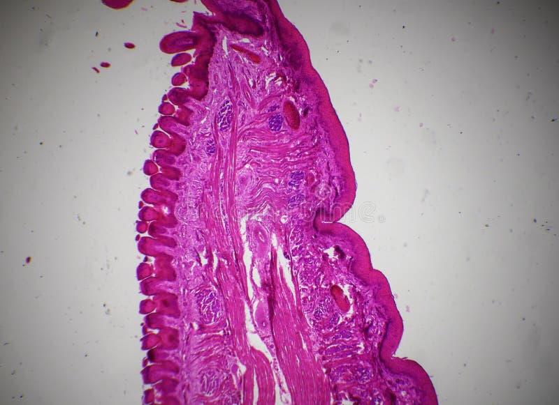 Jęzor podłużna sekcja pod mikroskopem zdjęcia stock