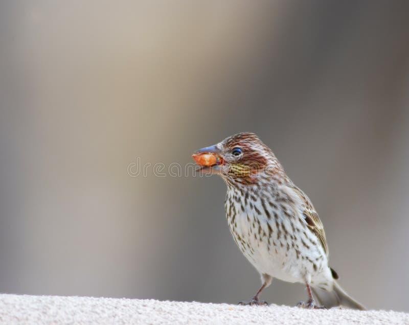 język ptaków materiału siewnego zdjęcia royalty free