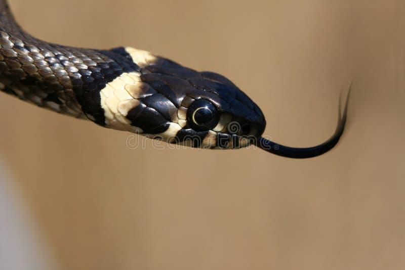 język węża trawy. zdjęcia royalty free