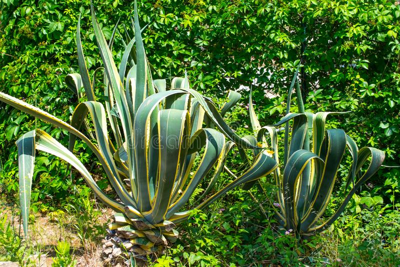 J?tte- kaktus kalkon Sidostad arkivfoto