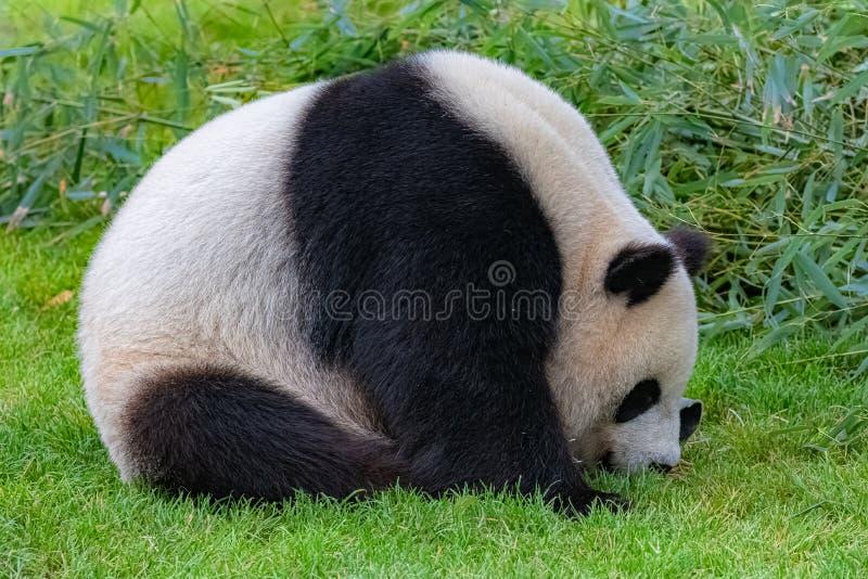 J?tte- panda, bj?rnpanda fotografering för bildbyråer