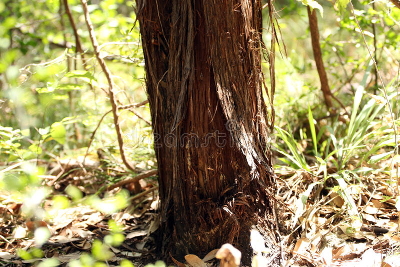 Jałowcowy Drzewny bagażnik fotografia royalty free