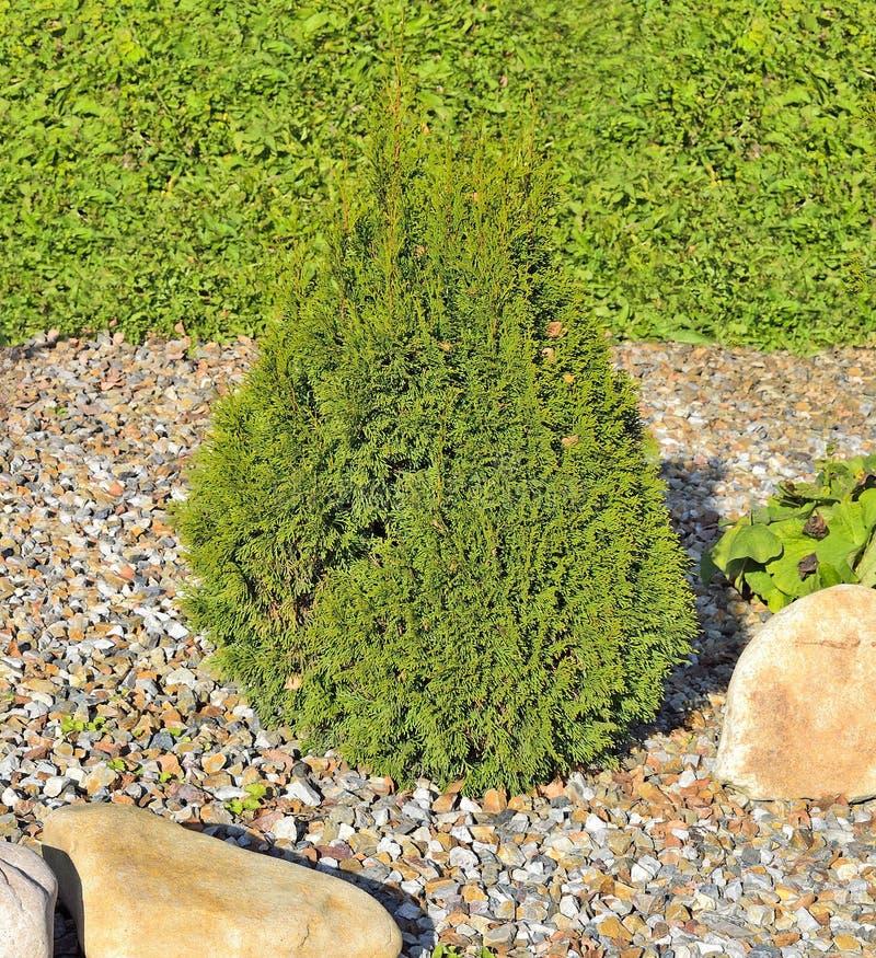 Jałowiec jest iglastym wiecznozielonym stożkowatym dekoracyjnym rośliną dla fotografia stock