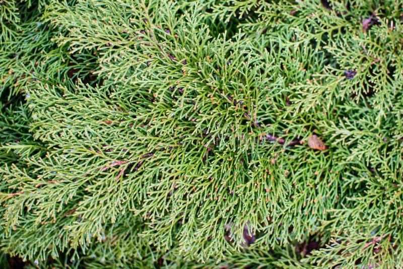 Jałowiec zieleni gałąź zdjęcia royalty free