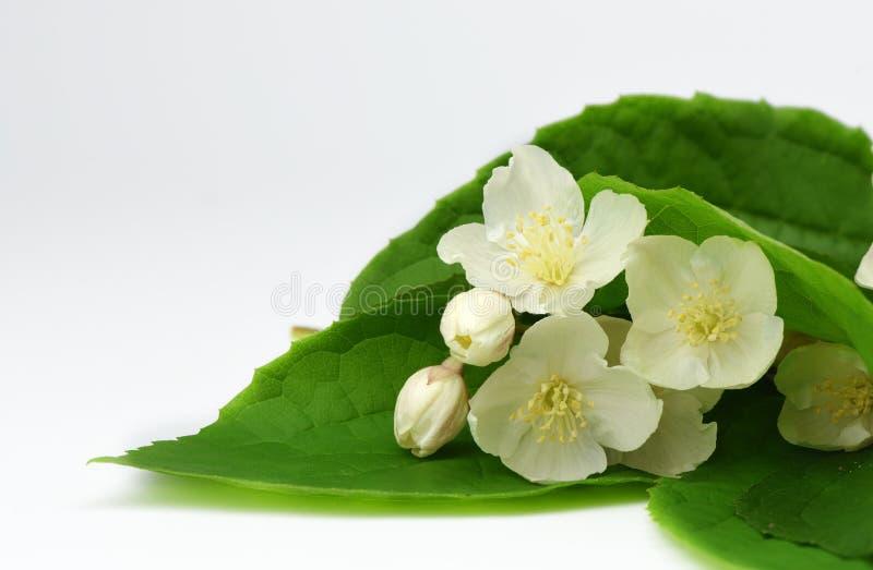 Jaśminów kwiaty kwitnie na białym tle zdjęcia royalty free