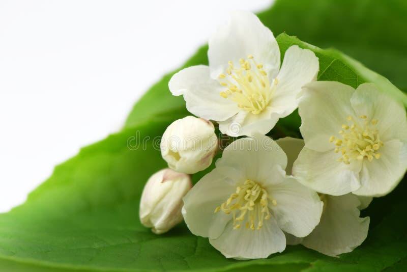 Jaśminów kwiaty kwitnie na białym tle obraz royalty free