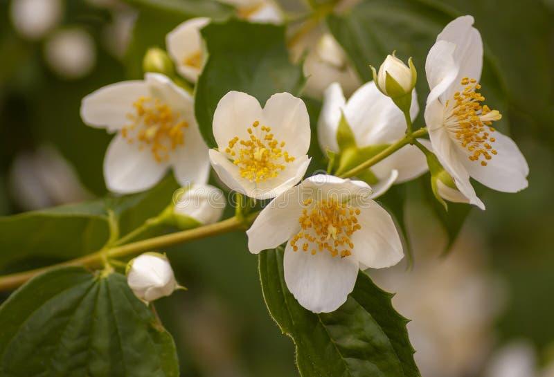 Jaśmin kwitnie na naturalnej gałąź obrazy stock