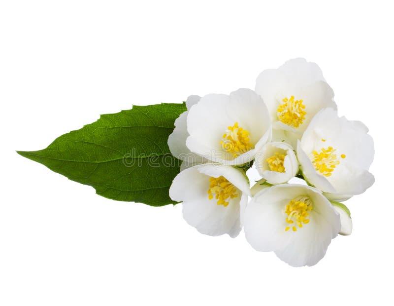 Jaśminowi kwiaty zdjęcie royalty free