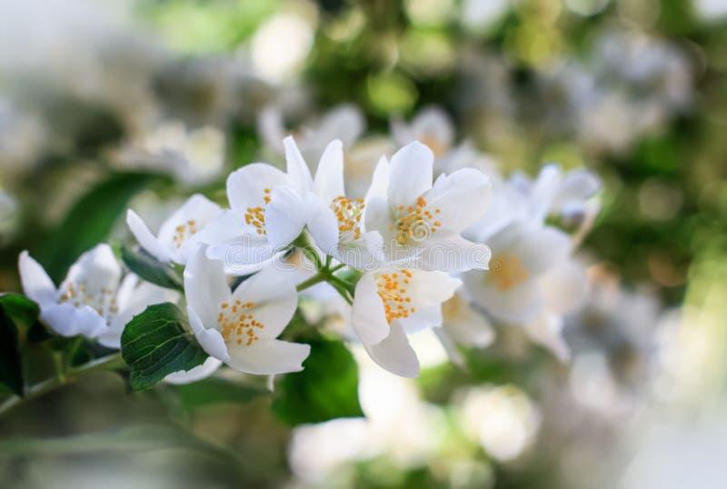 Jaśminowi kwiaty na krzaka okwitnięciu zdjęcia stock