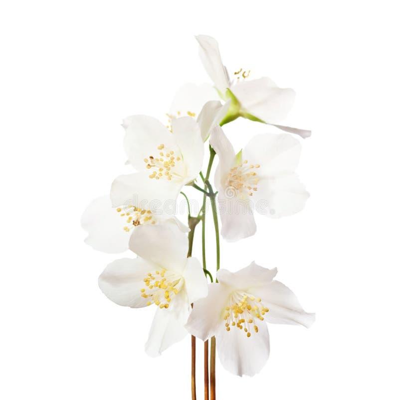 Jaśminowi ` s kwiaty odizolowywający na bielu zdjęcia stock
