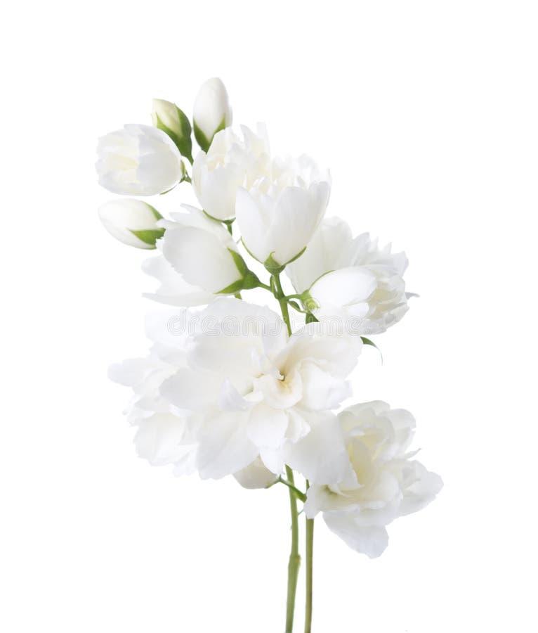 Jaśminowi ` s Philadelphus kwiaty odizolowywający na bielu obraz royalty free