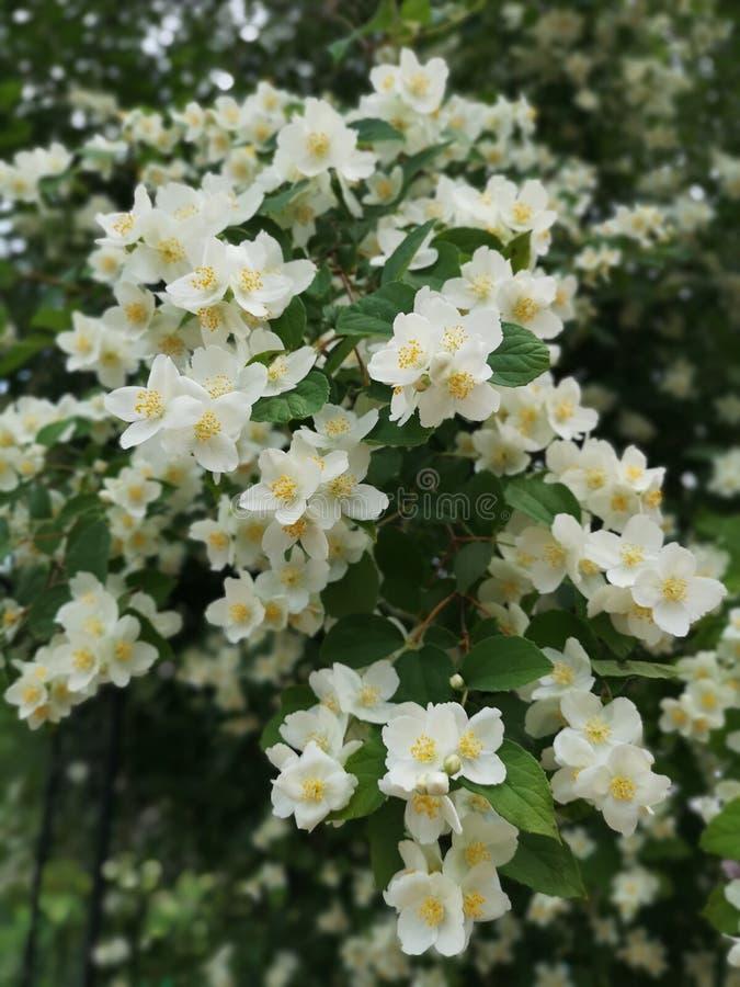 Jaśminowy Flower power zdjęcia royalty free