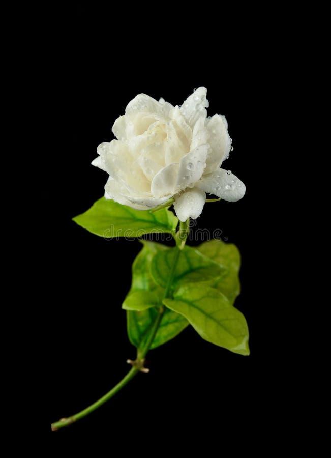 Jaśminowy kwiat z kroplami woda na czarnym tle obraz stock