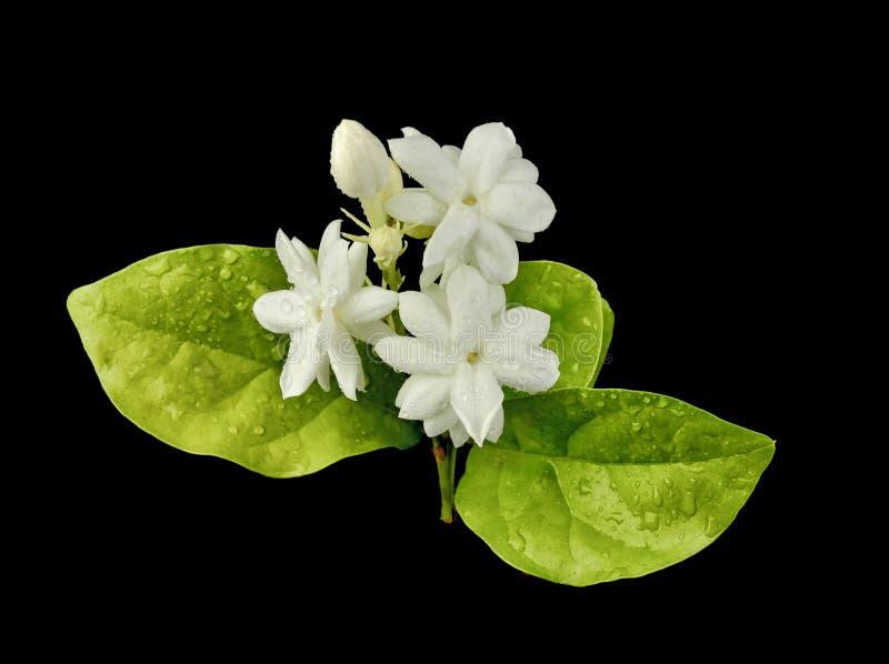 Jaśminowy kwiat z kroplami woda na czarnym tle zdjęcia stock