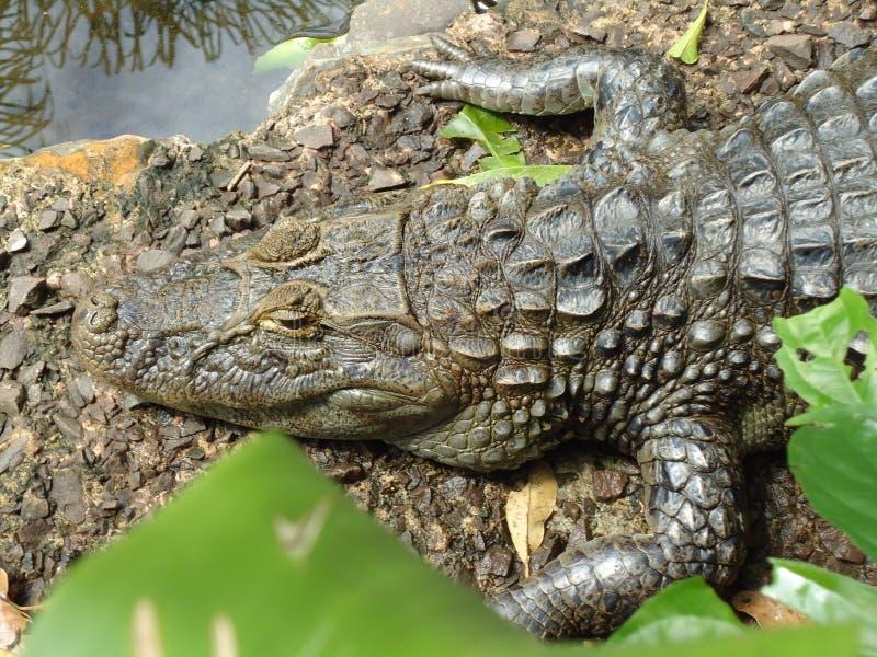 Ja aligator w niewoli fotografia royalty free