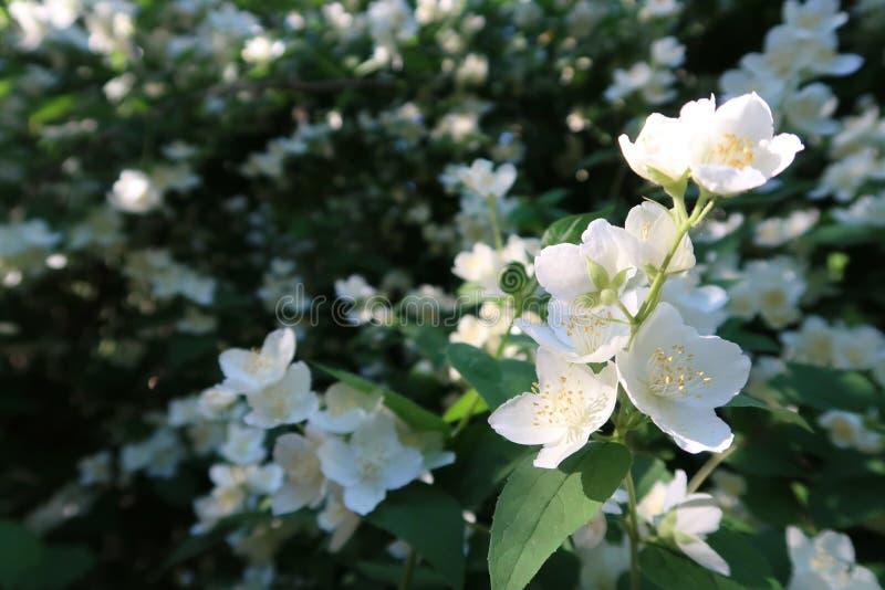 Ja?min kwitnie w ogr?dzie Delikatni kwiatów płatki zamknięci w górę zdjęcia royalty free