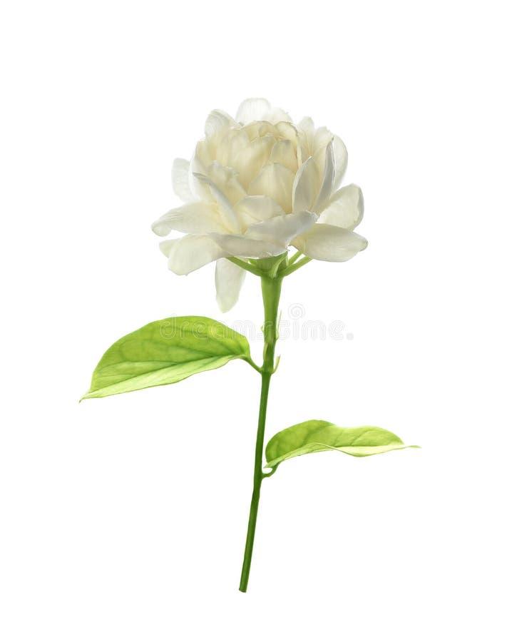 Ja?minowy kwiat odizolowywaj?cy na bia?ym tle zdjęcie stock