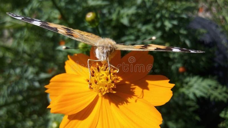 Ja nie orzeł ale motyli zbieracki nektar od kwiatów, obraz stock