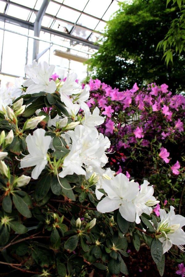 Ja ` s piękni kwiaty azalie fotografia royalty free