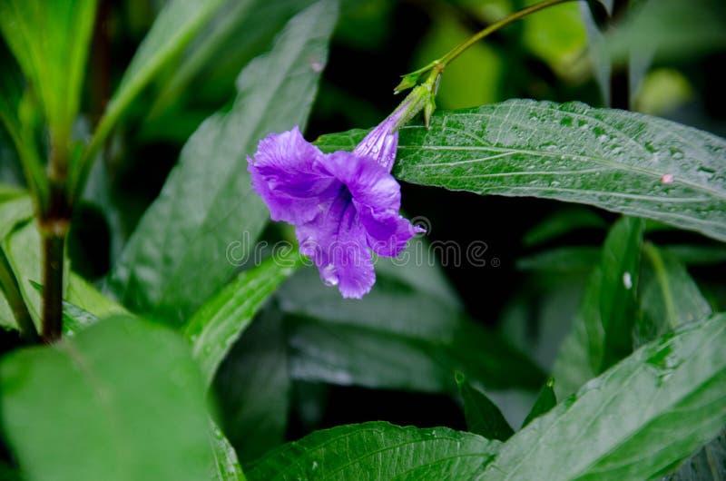 Ja zostać rozlewnym najeźdźczym rośliną w Floryda, zdjęcie stock