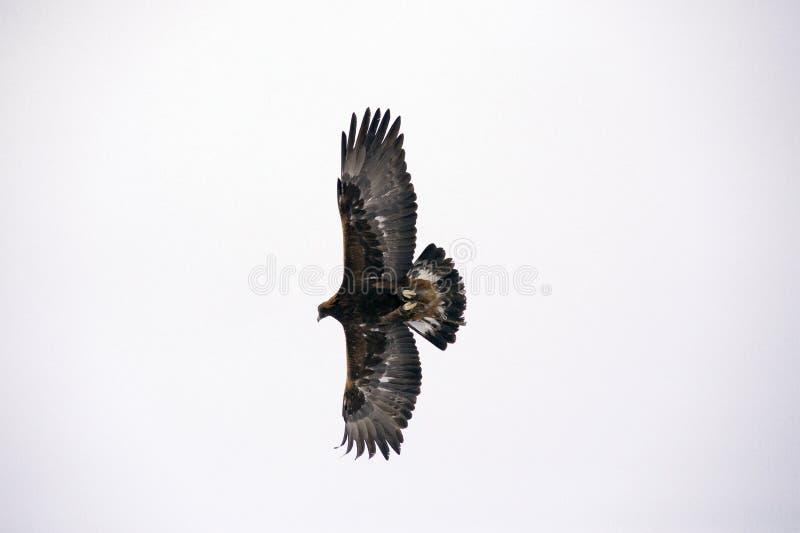 Jaagvogel die op zoek is naar prooi, soars in de lucht stock foto's