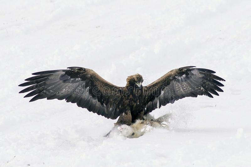 Jaagvogel die op zoek is naar prooi, soars in de lucht royalty-vrije stock foto's