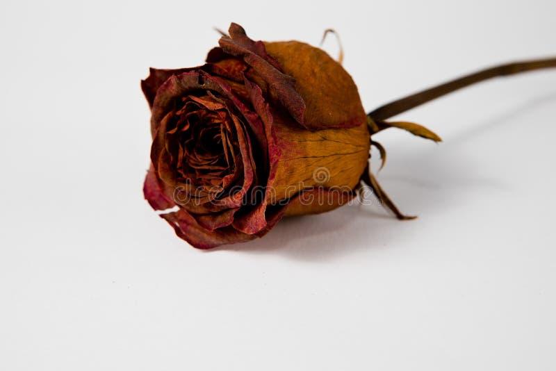 10 jaar oud nam toe - droog langzaam verdwenen koningin van al flora royalty-vrije stock fotografie