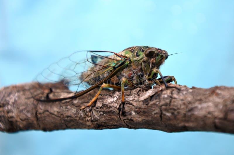 Jaarlijkse Cicade stock fotografie