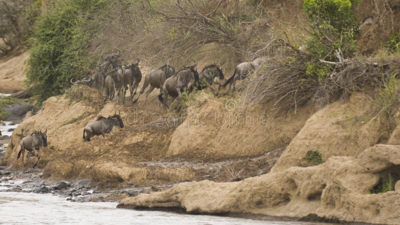 Jaarlijkse migratie van het meest wildebeest in Masai Mara stock fotografie