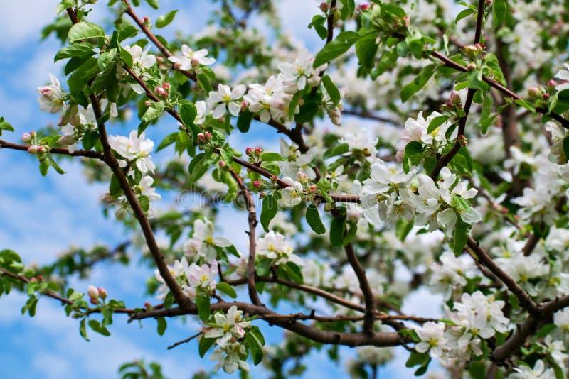 Jabłoń w kwiacie Jabłczany sad, kwitnie czereśniowych drzewa, owocowy drzewo, biały kolor zdjęcia stock