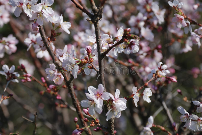 jabłczana ogrodu zdjęcia wiosna kwiat obraz stock