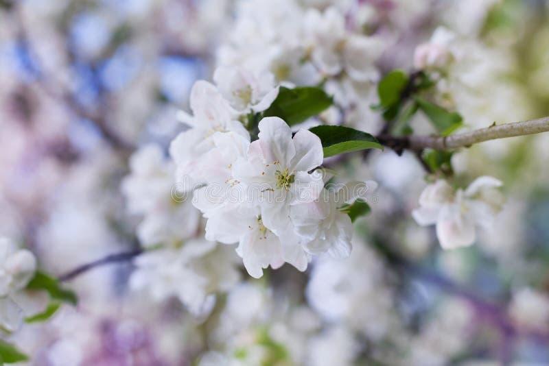 Jabłczana okwitnięcie gałąź z białymi kwiatami przeciw pięknemu bokeh tłu, uroczy krajobraz natura obraz royalty free