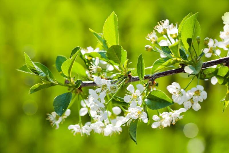 jabłczana tła kwiatów ogródu zieleń obraz royalty free