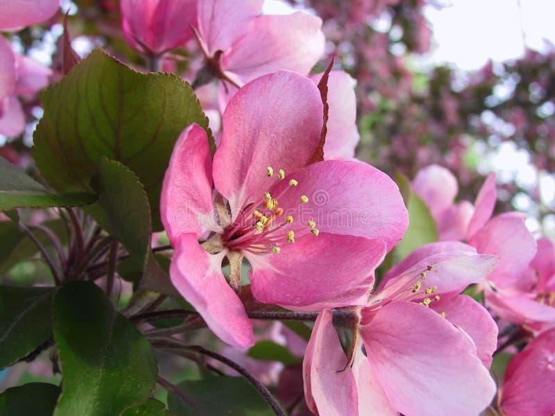 jabłczane różowy kwiat zdjęcia stock