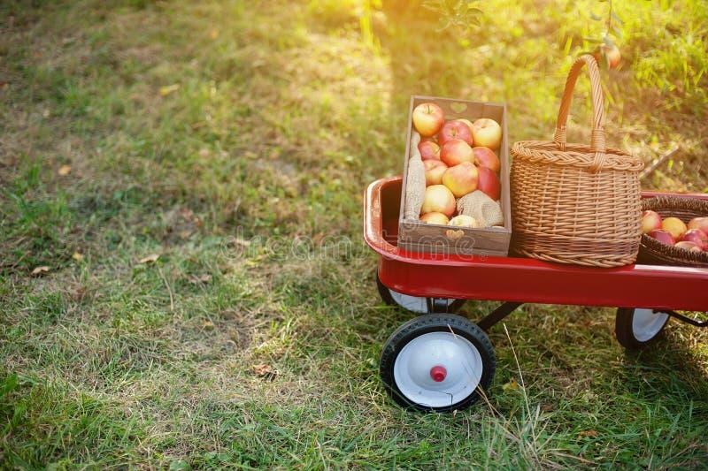 Jabłczanego żniwa Dojrzali czerwoni jabłka w koszu na zielonej trawie obrazy royalty free