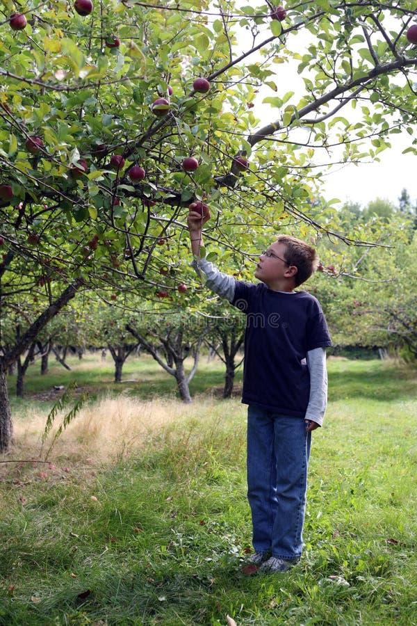 jabłczani chłopiec sadu zrywania drzewa potomstwa obrazy stock