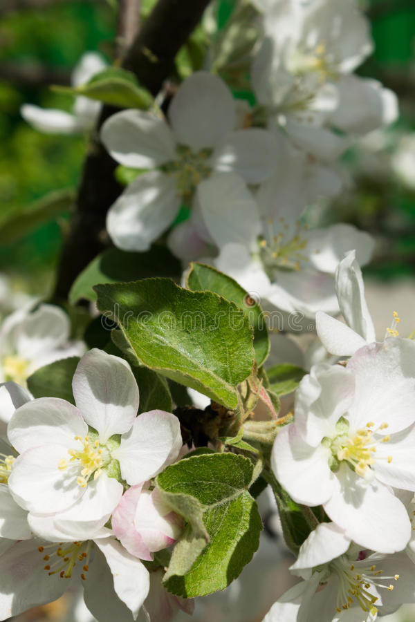 Jabłczani kwiaty obrazy royalty free